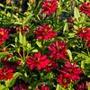 Mass of red zinnias - filtered version #1
