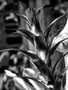 Stalk of an unidentified bromeliad - BW filtered version