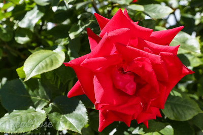 Red Rose from Wernemunde , Germany