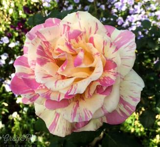 Variegated Rose