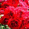 Rose-Poppy