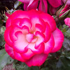 Rose-Double Delight