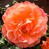Rose-Erotica