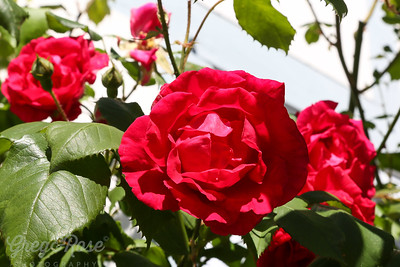 Red Roses from Warnemunde, Germany