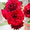 Rose- Fugue