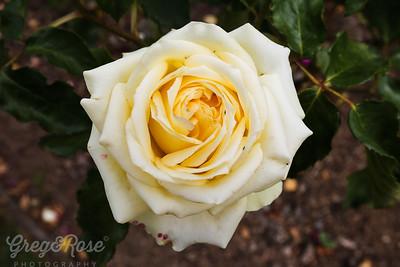 Rose- Celtic Cream