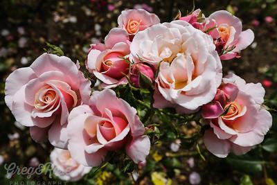 Rose-Softly Softly