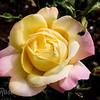 Rose-Peace