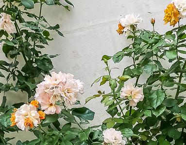 Rose newer and older rose same plant