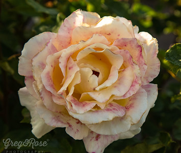 Cream and Pink Variegated Rose