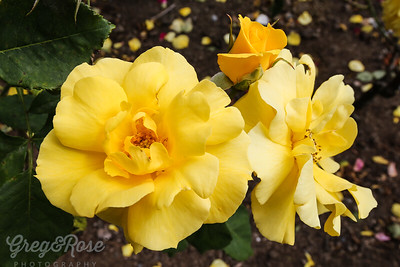 Rose-Fellowship