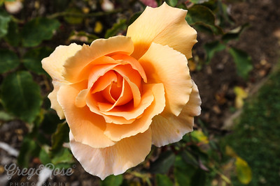 Rose-Just Joey