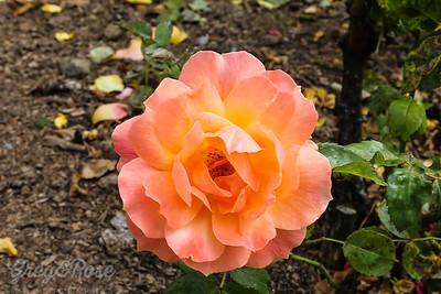 Rose-Softy Apricot.