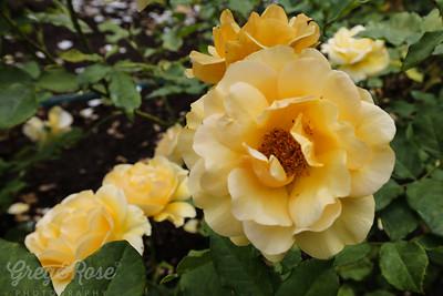 Rose=Freedom