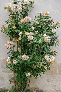 Lark Ascending Rose