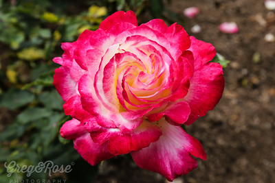 Rose Double Delight 3