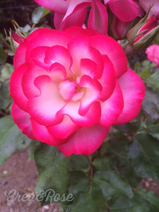 J is for Judge what is the best Rose for Us its Double Delight