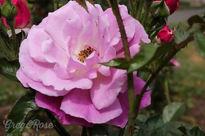 Rose-Aotearoa New Zealand