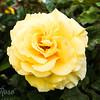 Rose-Gisborne 2000