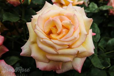Rose -Sunline