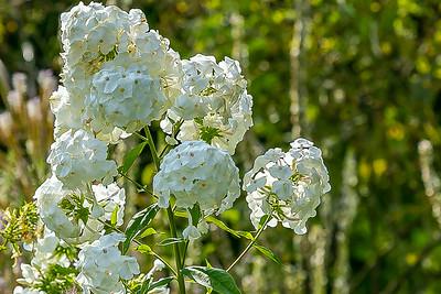 White Rugosa Alba Rose