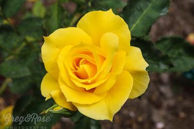 Y as in Yellow Rose  Rose-El Darado