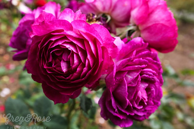Rose Caroline Bay - For My Older Brother Brendan, who Died aged ( 68)  on 3 December 2018 at 3.15pm  NZ time , May he rst in peace