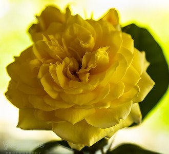 Symphony - a perfect name for this rose