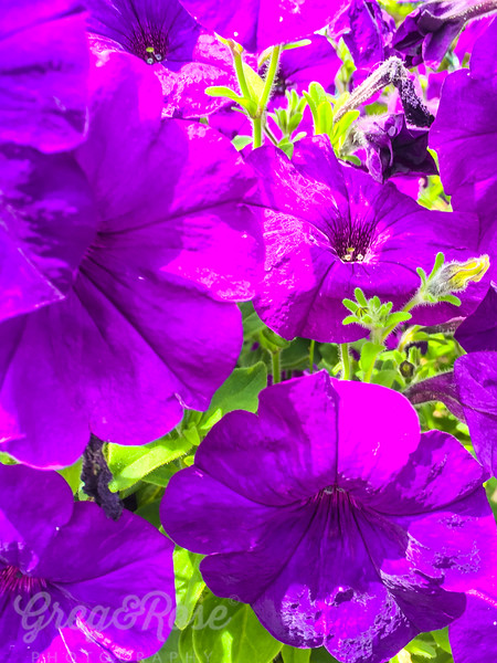 Purple Petunia delight