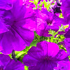 Purple Petunia delight