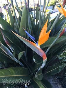 Bird of Paradise-Strelitzia