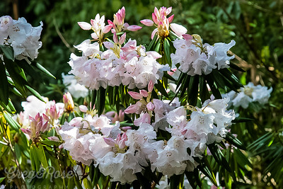 Subtle pink Rhododendron