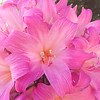 Pink Christmas Lilly.