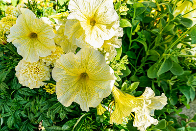 Petunias from Dinard