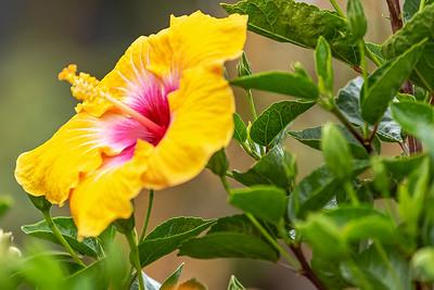 Hibiscus delight