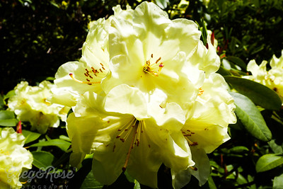 White Rhododendron Glory