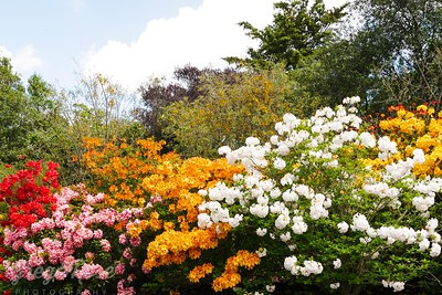 Red Yellow Orange and White Rhododendrons