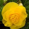 Yellow Bergonia