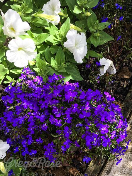 Lobelia and Petunia combine in their splendour.