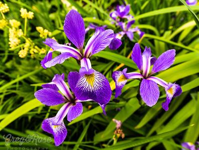 Iris Viquipedia