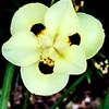 Day Iris