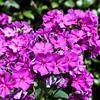 Lilac Joy