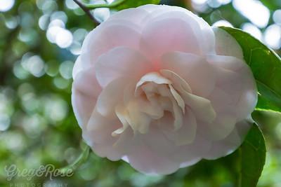 Transluecent Pink Camellia