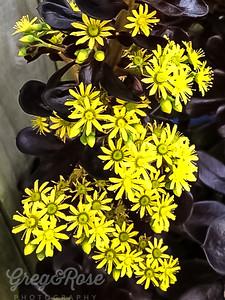 Flowering Schwarzkopf