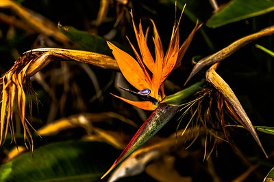 Birds of Paradise life Cycle