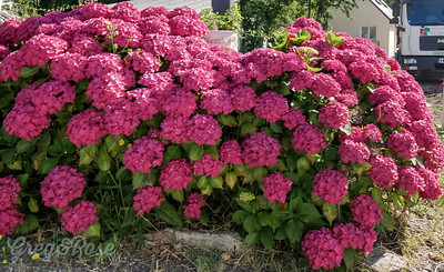 Ortensia ( Hydrangea ) as they are known in France are the flower that Brittany call their own