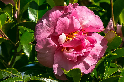Camelia in the Pink