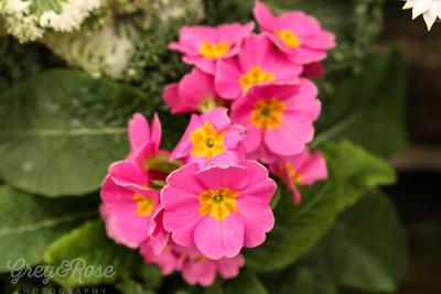 Pink and Yellow Primrose