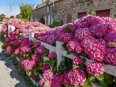 Hydrangeas in the Cap Frehel District