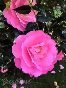 Shocking Pink Camellias